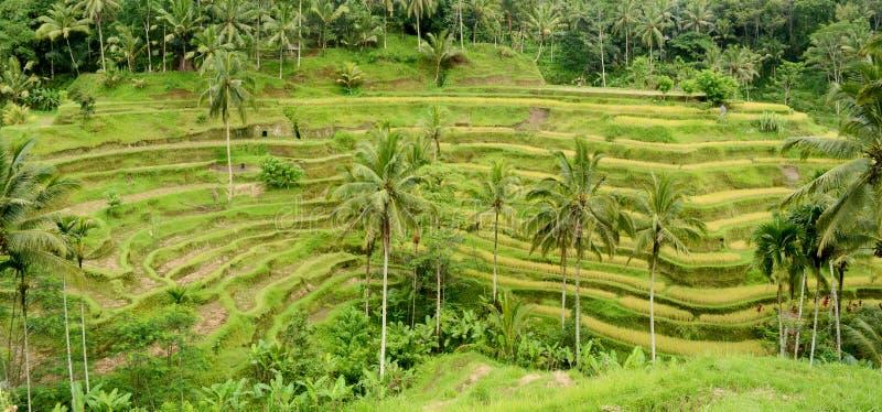 терраса риса bali стоковые фотографии rf