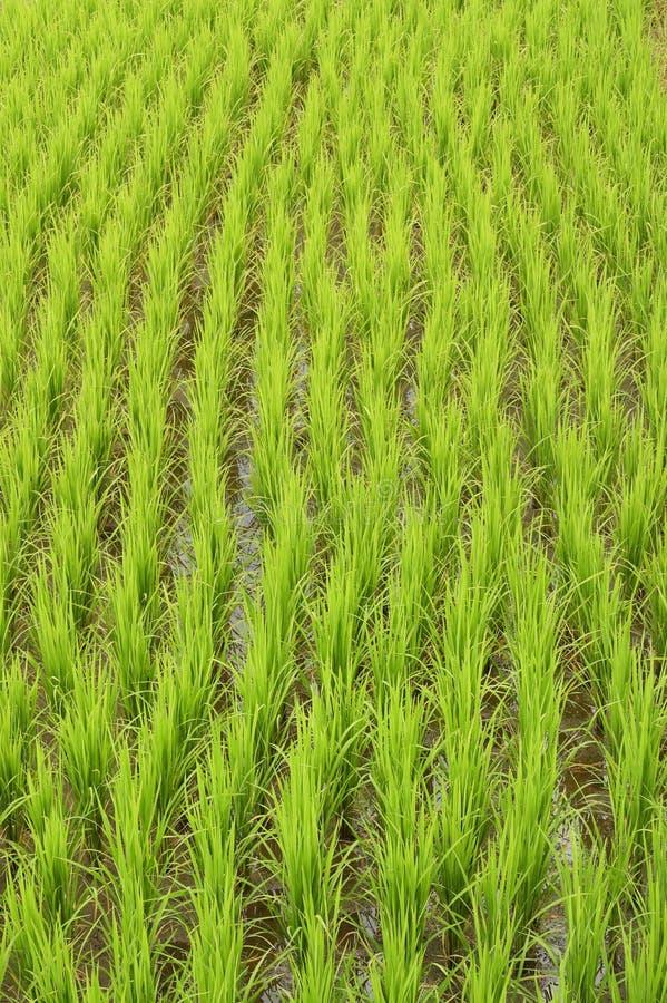 Террасное зеленое поле риса стоковые фото