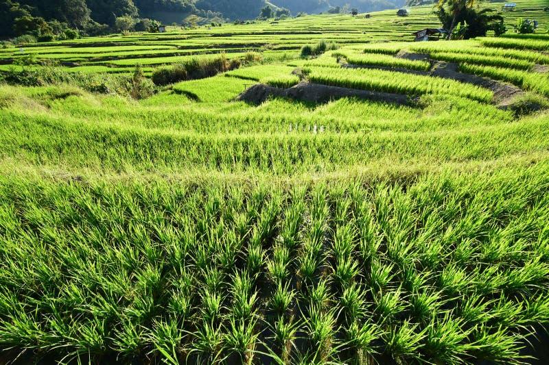 Террасное зеленое поле риса стоковые изображения