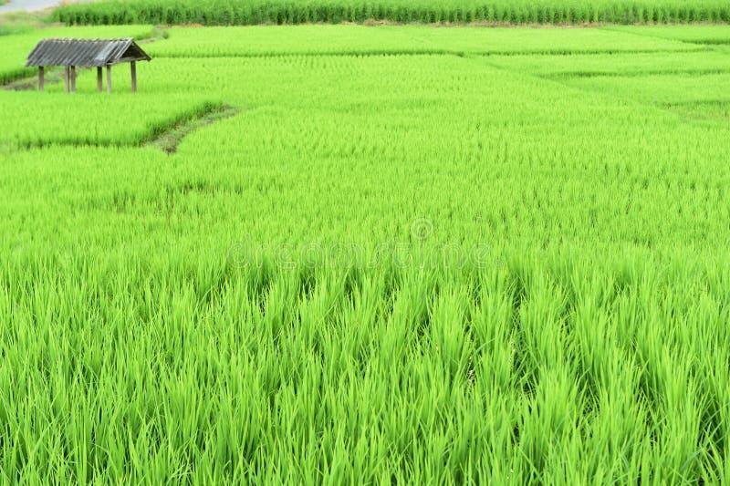 Террасное зеленое поле риса стоковое изображение