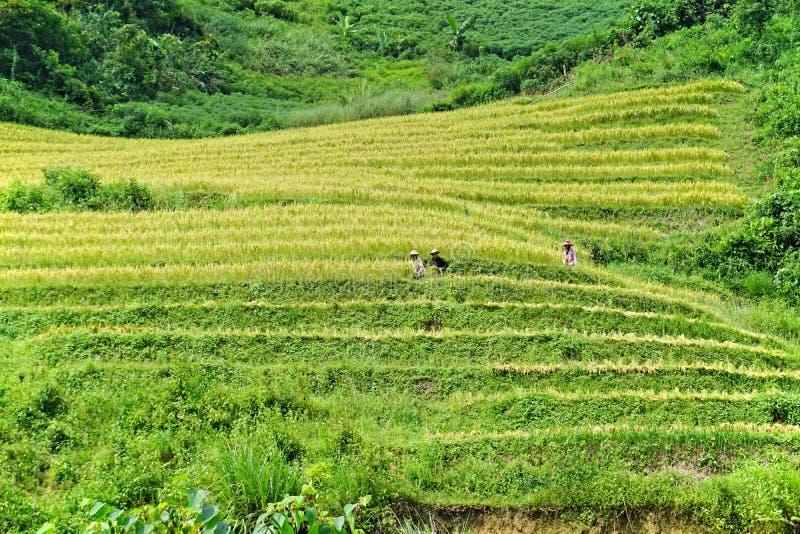 Террасные рисовые поля в холмистом районе Sapa, северо-западном Вьетнаме стоковые фотографии rf