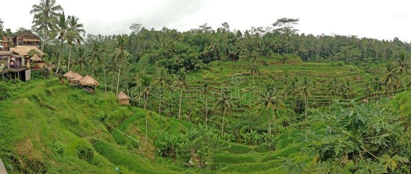 Террасы риса Природа Бали красивая стоковые фотографии rf