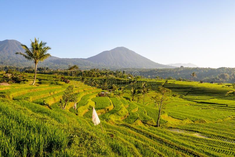 Террасы риса Jatiluwih стоковое фото