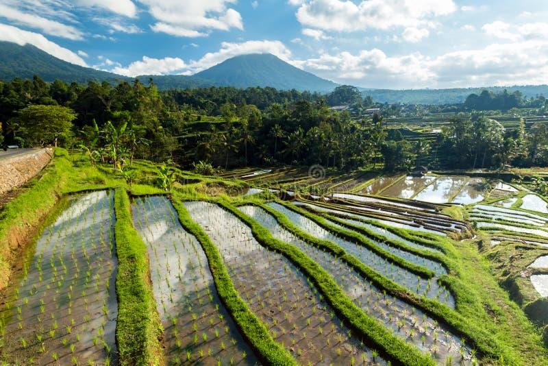 Террасы риса Jatiluwih стоковые фотографии rf