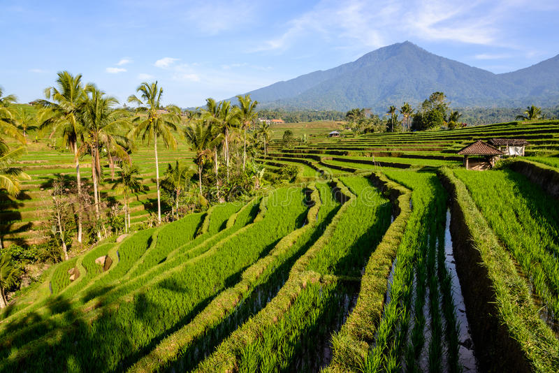 террасы риса jatiluwih bali стоковое фото rf
