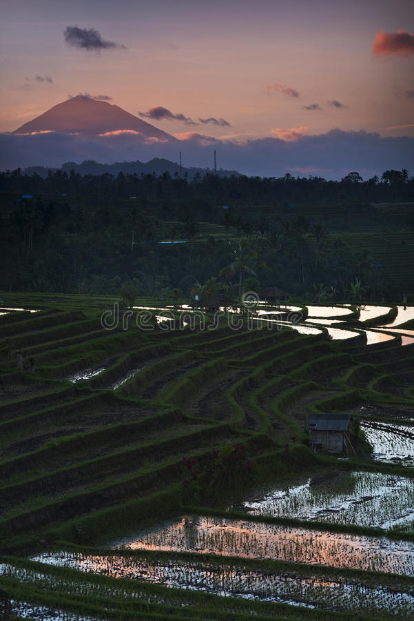 террасы риса luwih jati bali стоковые изображения