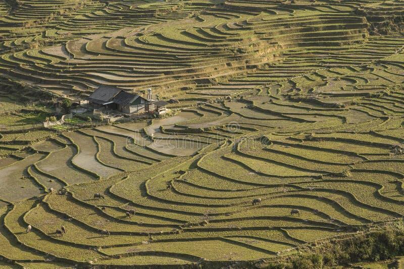 Террасы риса Sapa в северном Вьетнаме стоковое фото rf