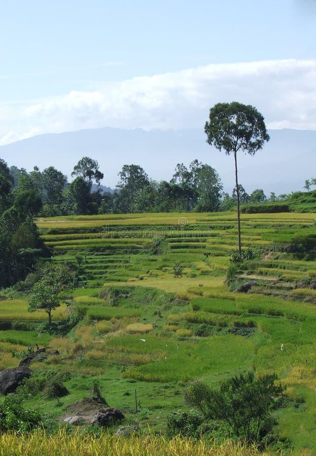 Террасы риса Tana Toraja в Сулавеси стоковое изображение rf