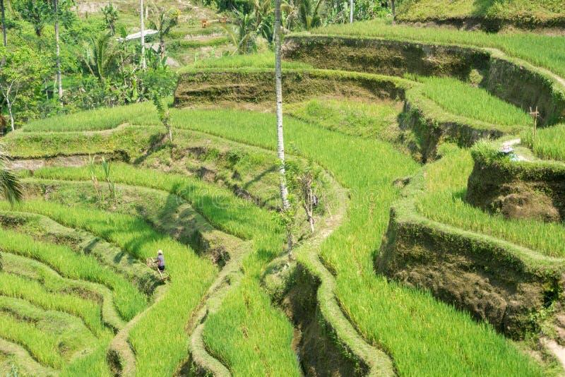 Террасы риса Tegalalang в Ubud, Бали, Индонезии стоковые фотографии rf