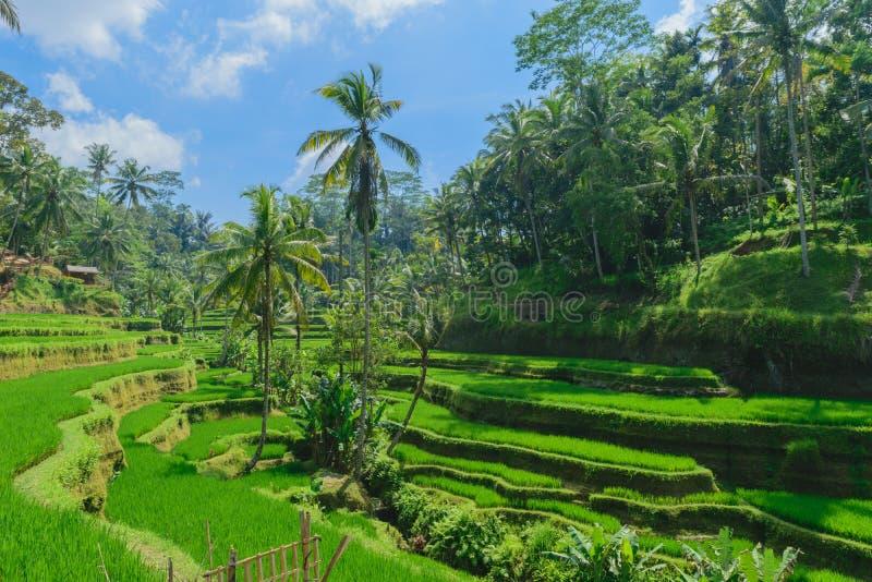 Террасы риса Tegalalang, солнечный день и зеленые джунгли в Ubud, Бали стоковая фотография rf