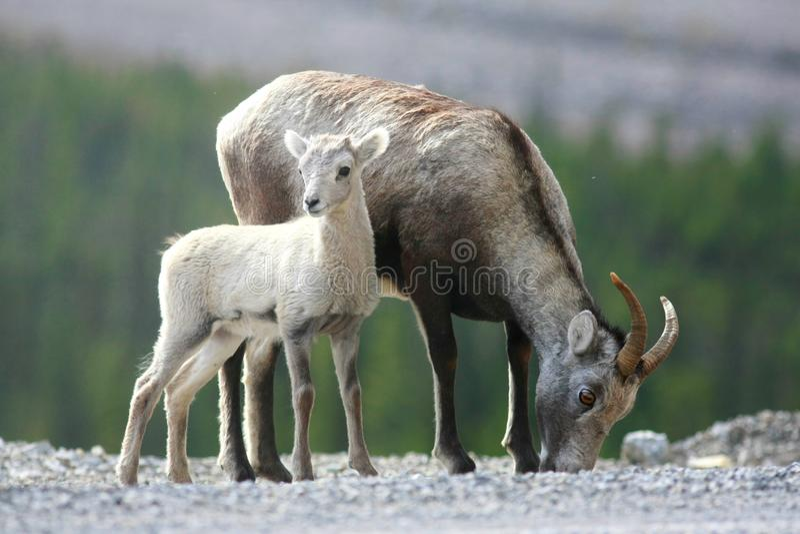 территории yukon овец каменные стоковые фото