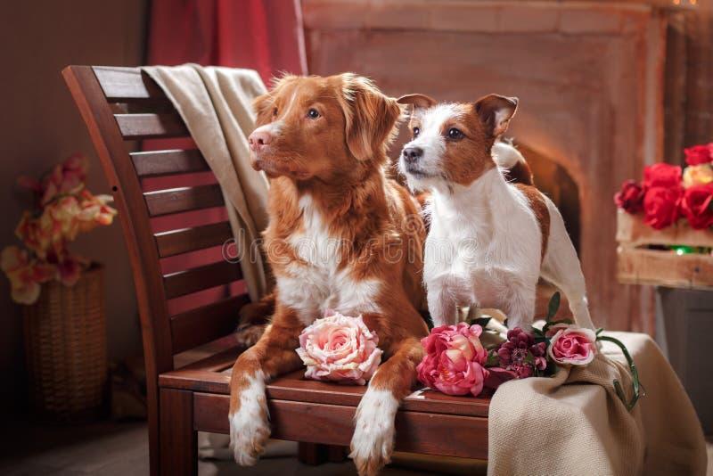 Терьер Джека Рассела собак и собака Новая Шотландия Duck звоня собака портрета Retriever лежа на стуле в студии стоковые изображения rf