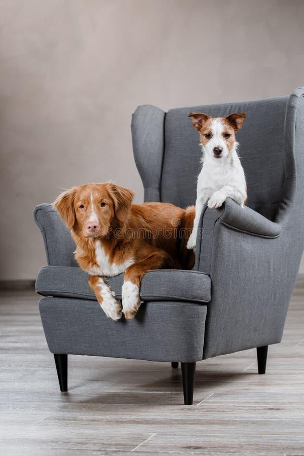 Терьер Джека Рассела собак и Retriever утки Новой Шотландии собаки звоня стоковая фотография rf