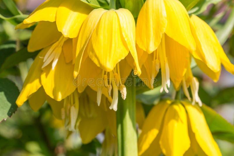 Тетеревиные красивых ярких желтых цветков карие имперские на лужайке в парке или саде весны стоковое изображение rf