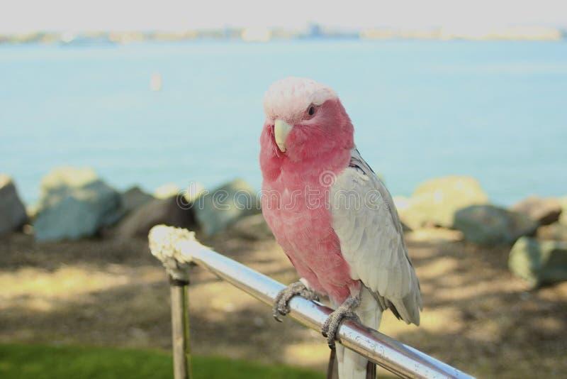Download тело пинка птицы длиннохвостого попугая и белых полное Стоковое Изображение - изображение насчитывающей биографической, пинк: 33731813