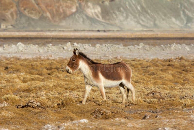 Тибетский одичалый ишак, kiang Equus, Hanle, Jammu Кашмир стоковые фото