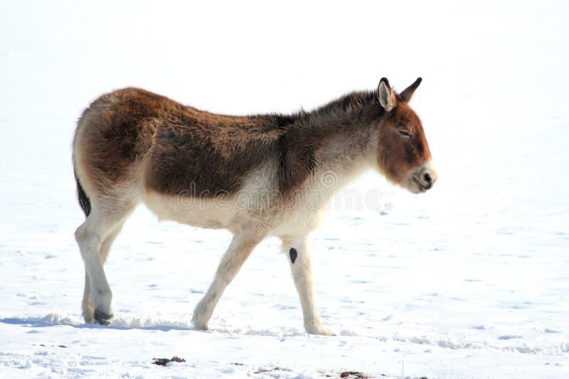Тибетский одичалый ишак (kiang Equus) стоковое изображение rf