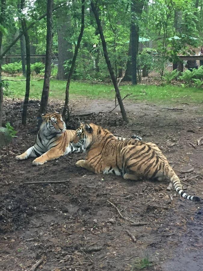 2 тигра Бенгалии играя совместно под небольшим деревом в лесе стоковая фотография rf