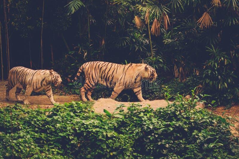 2 тигра Бенгалии играя в джунглях стоковое фото rf