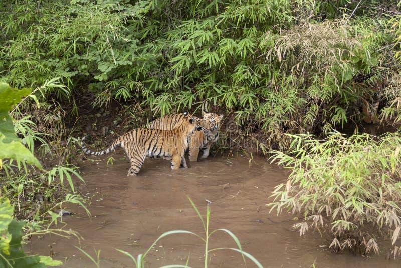 2 тигра subadult играют в бассейне воды на махарастре запаса тигра Tadoba, Инд стоковое изображение rf