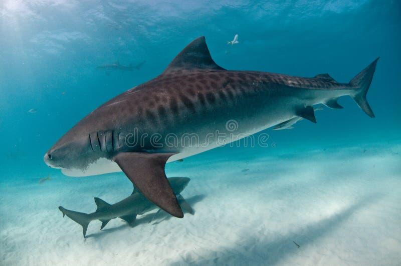 Тигровая акула перемещаясь мимо стоковое фото