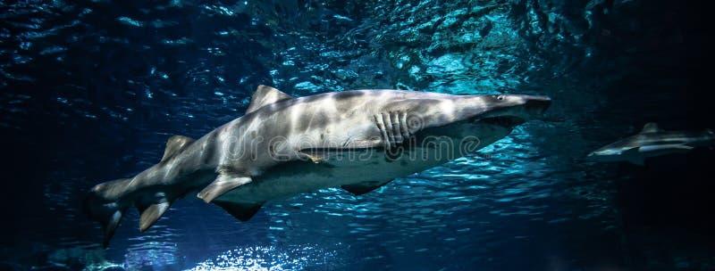Тигровая акула песка стоковые изображения