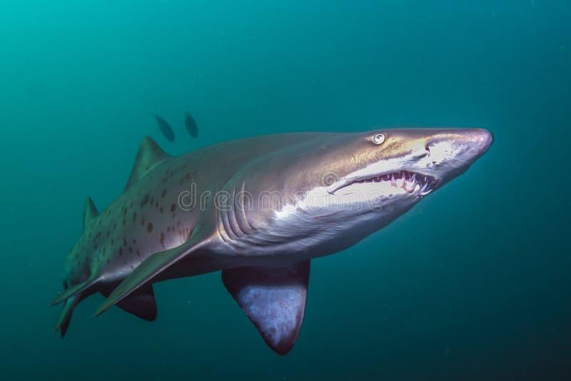 Тигровая акула песка стоковое изображение