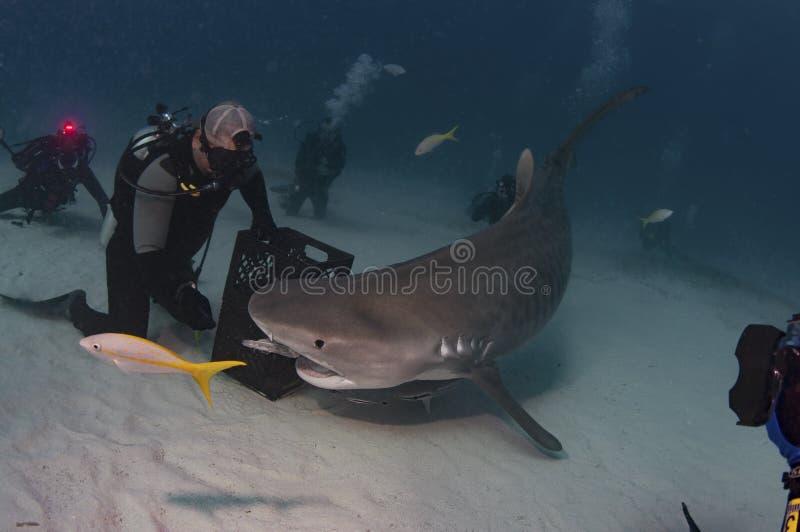 Тигровая акула стоковые фото