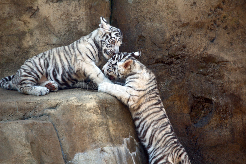 тигры белые стоковые фото