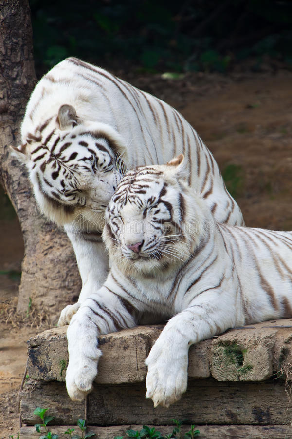 тигры пар шепча белизне стоковое фото rf