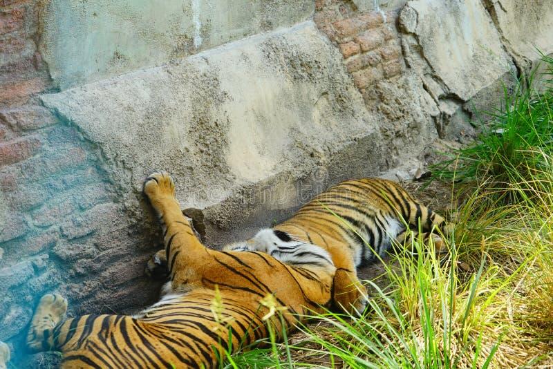 Тигры спать стоковое изображение