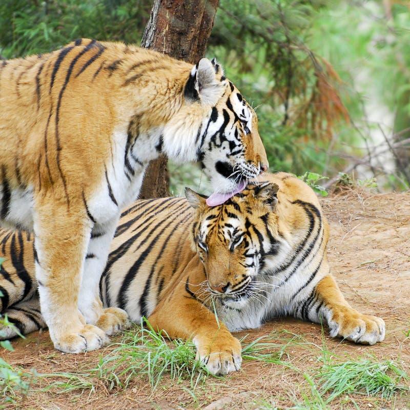 тигры стоковые фото