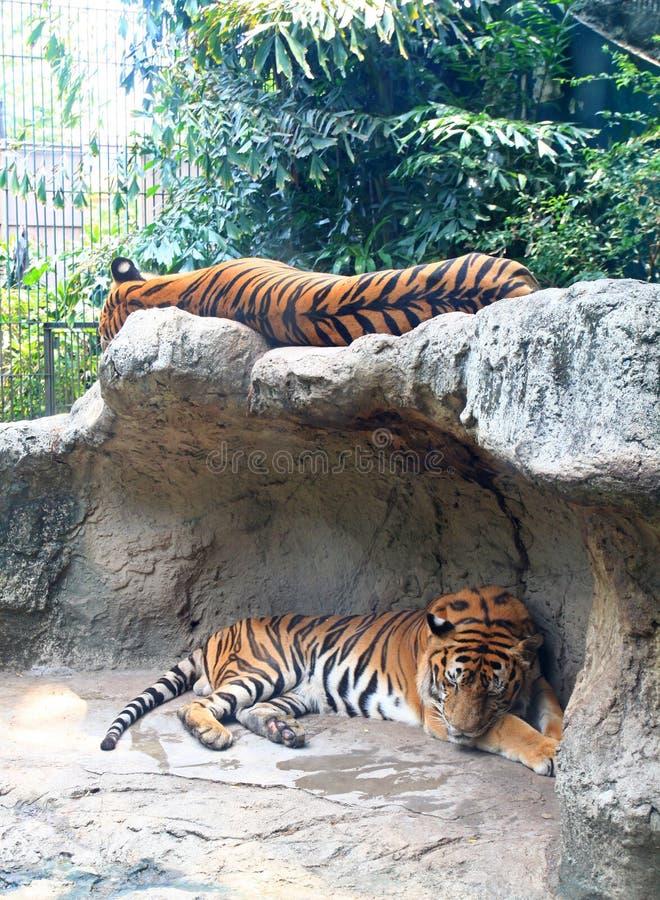 тигры 2 сна утеса стоковые фото