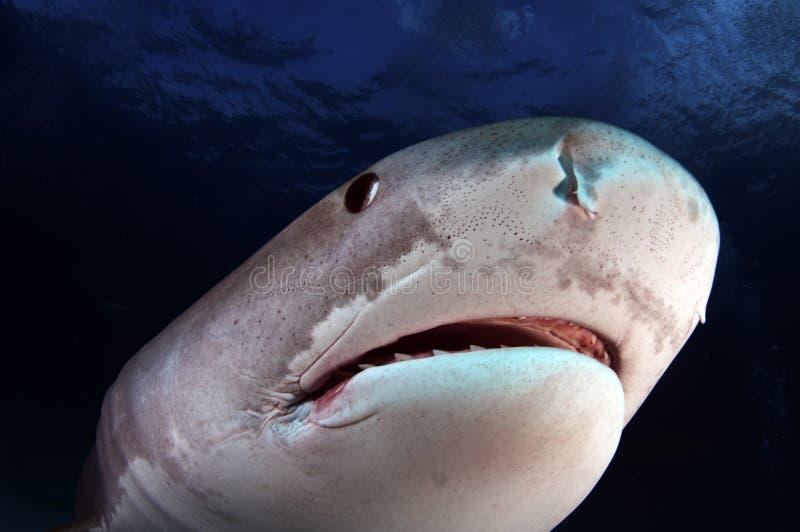 тигр акулы стоковое изображение