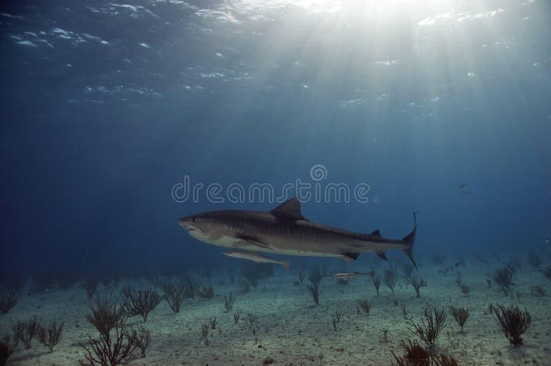 тигр акулы shallows стоковые изображения rf