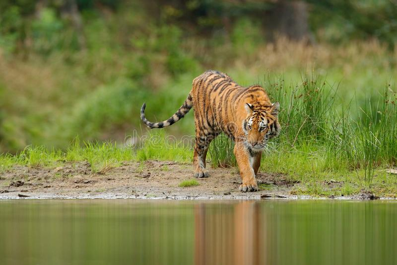 Тигр Амура идя около речной воды Сцена живой природы действия сибирского тигра, одичалый кот, среда обитания природы Тигр, зелена стоковая фотография rf