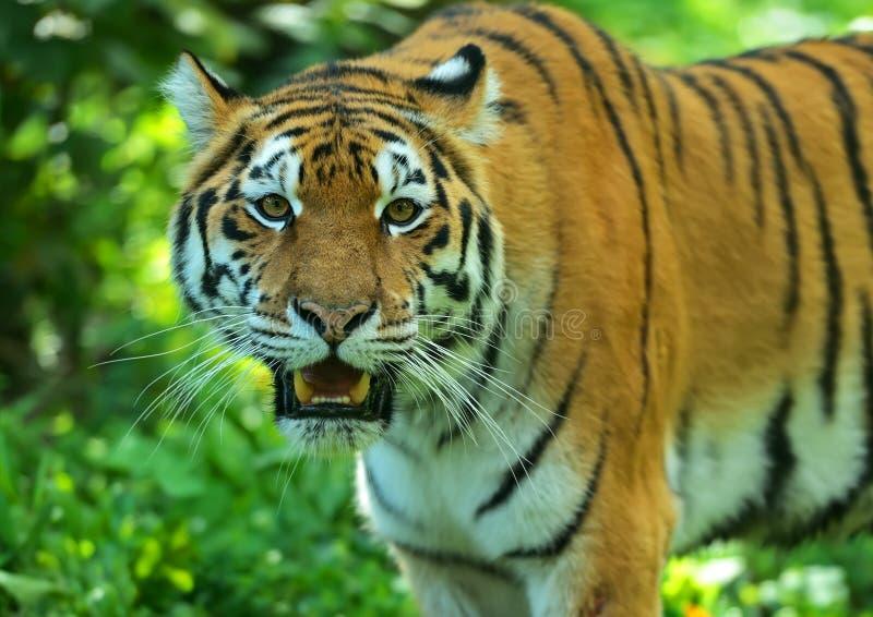 Download Тигр Амура стоковое изображение. изображение насчитывающей природа - 40583301