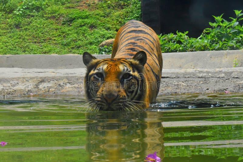 Тигр Бенгалии на зоологических садах, Dehiwala sri lanka colombo стоковое фото rf
