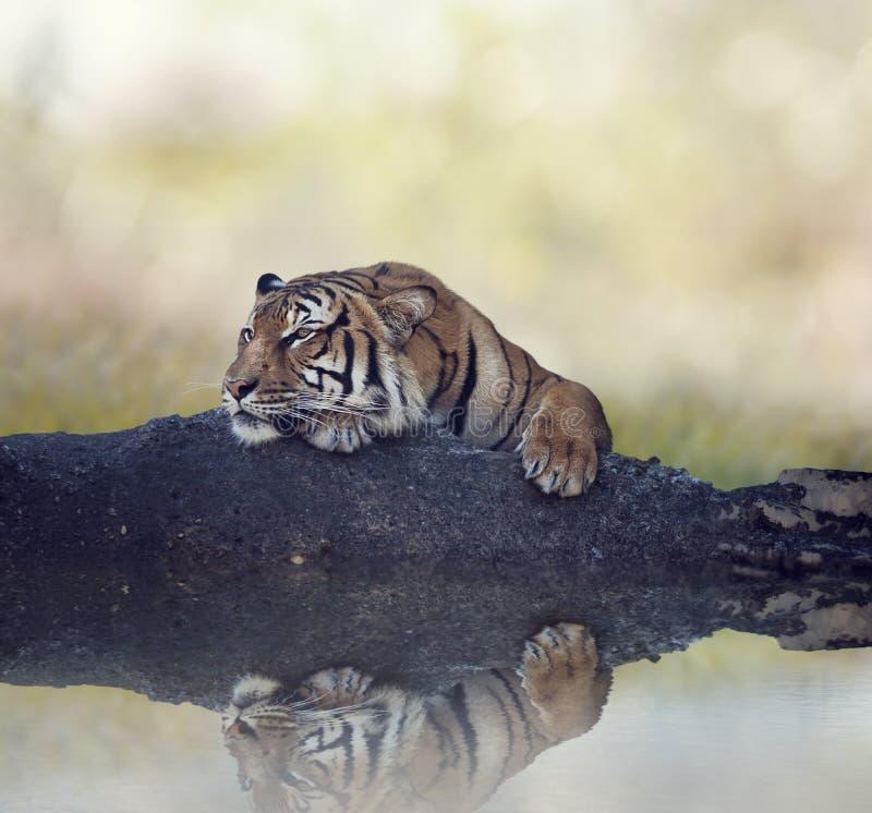 Тигр Бенгалии отдыхая на утесе около воды стоковое фото rf