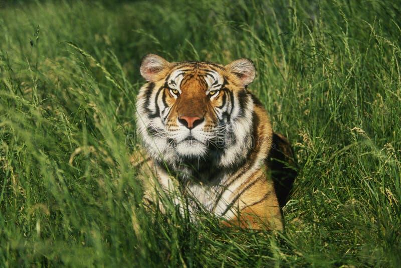 тигр Бенгалии стоковые изображения rf