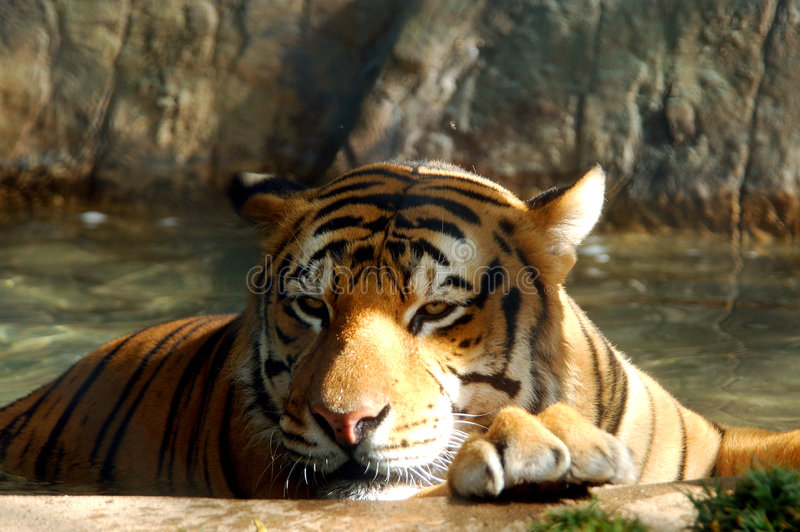 тигр Бенгалии стоковое фото rf