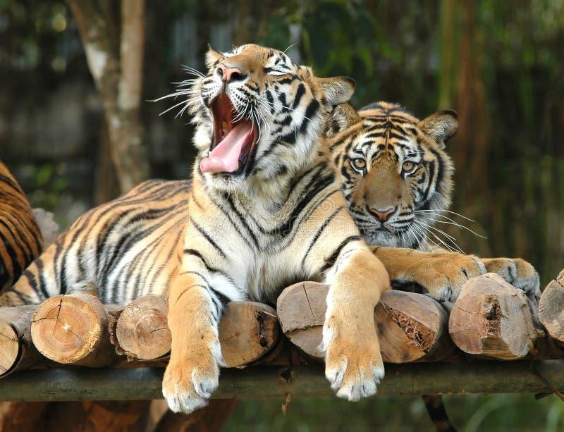 Download тигр Бенгалии стоковое изображение. изображение насчитывающей ангстрома - 17612893