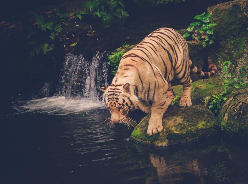 Тигр Бенгалии играя в джунглях стоковые фотографии rf