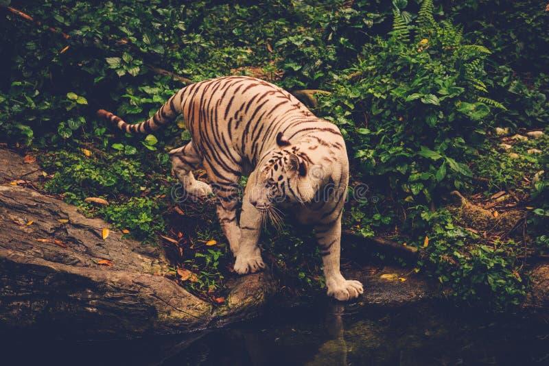 Тигр Бенгалии играя в джунглях стоковое изображение