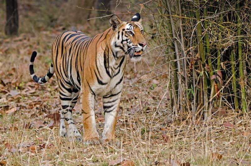 тигр Бенгалии королевский стоковые изображения