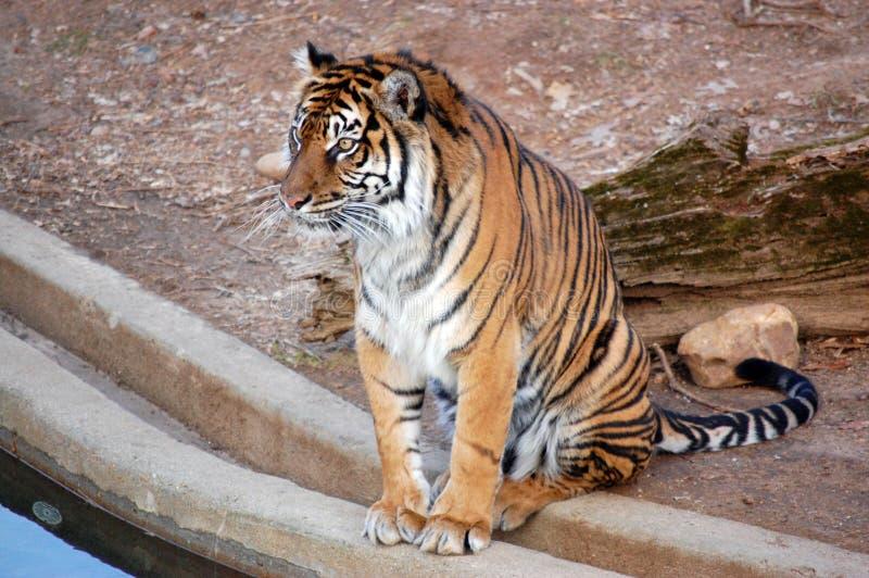 Тигр Бенгалии на зоопарке DC Вашингтона около пруда стоковое фото