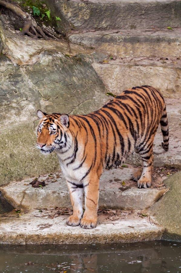 Тигр Бенгалии стоя на утесе около воды стоковое изображение