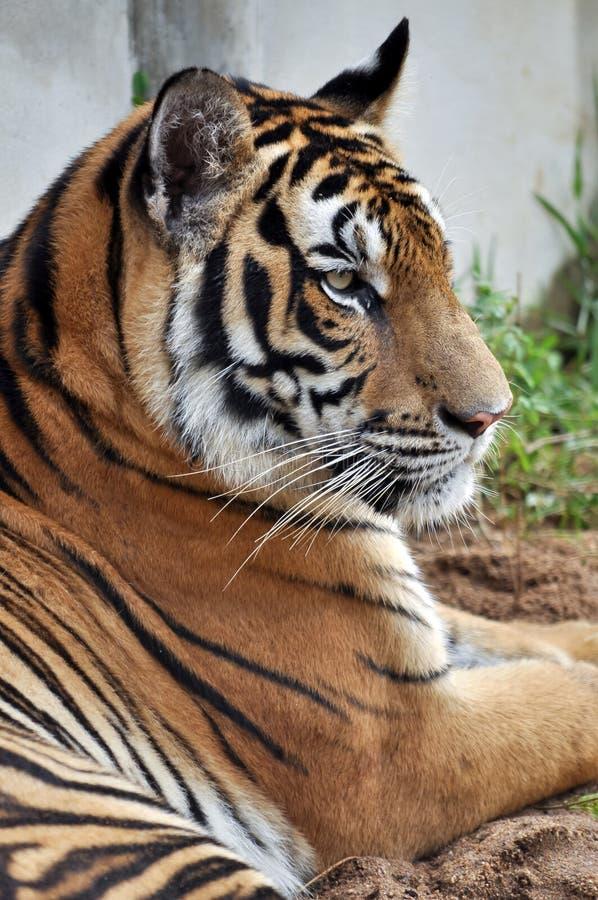 Download Тигр Бенгалии стоковое изображение. изображение насчитывающей компоситов - 33725319