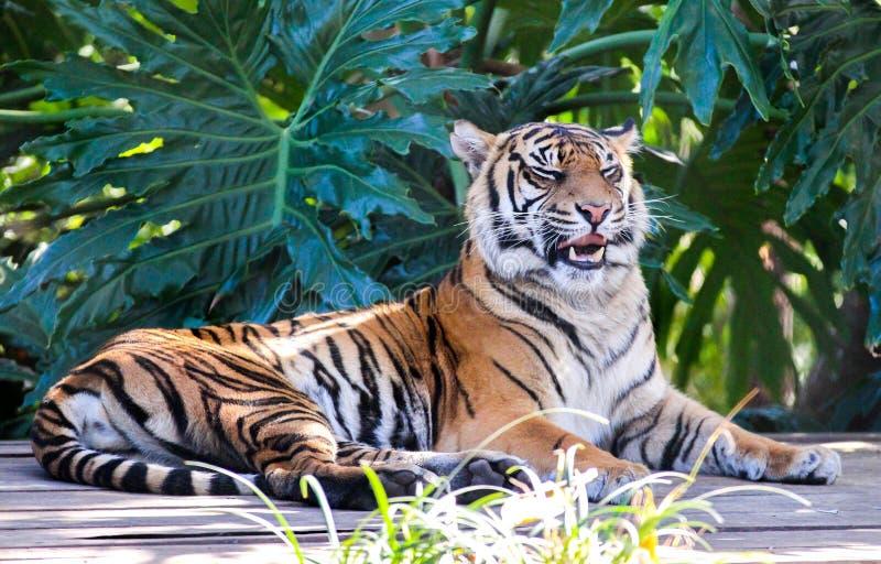 Тигр в австралийском зоопарке стоковое фото rf
