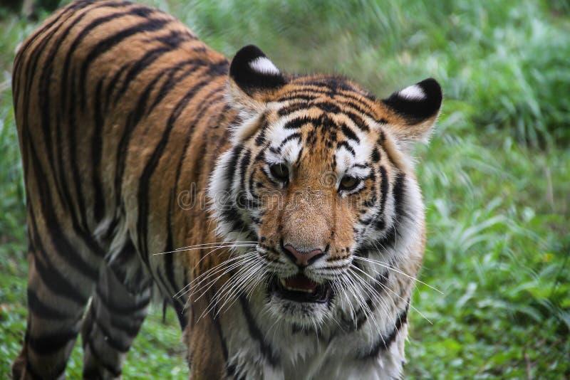 Тигр в лесе стоковое изображение